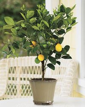 Highest Quality Meyer Lemon Trees You Can Find Online